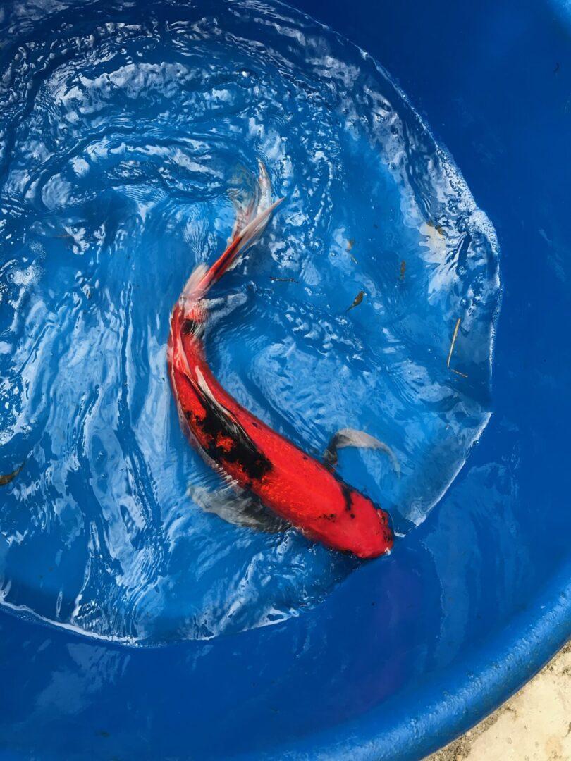 A koi fish in a basin